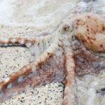 أخطبوط تعرف على أنواع الاخطبوط وحياتة صور ميكس 15