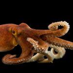 أخطبوط تعرف على أنواع الاخطبوط وحياتة صور ميكس 24
