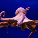 أخطبوط تعرف على أنواع الاخطبوط وحياتة صور ميكس 26