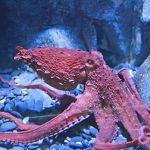 أخطبوط تعرف على أنواع الاخطبوط وحياتة صور ميكس 38