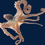 أخطبوط تعرف على أنواع الاخطبوط وحياتة صور ميكس 39