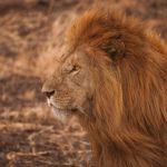 أسد 2019 أنواع الأسود وحياتها صور ميكس 6