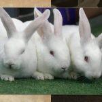 ارانب 2019 معلومات كاملة عن الأرانب صور ميكس 11