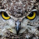 بومة معلومات كاملة عن البومة وحياتها صور ميكس 7