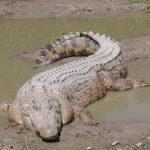 تمساح ومعلومات عن حياة وأنواع التماسيح صور ميكس 11