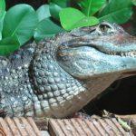 تمساح ومعلومات عن حياة وأنواع التماسيح صور ميكس 13