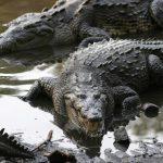 تمساح ومعلومات عن حياة وأنواع التماسيح صور ميكس 16