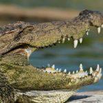 تمساح ومعلومات عن حياة وأنواع التماسيح صور ميكس 20