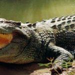 تمساح ومعلومات عن حياة وأنواع التماسيح صور ميكس 22