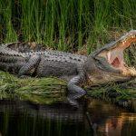 تمساح ومعلومات عن حياة وأنواع التماسيح صور ميكس 23