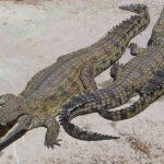 تمساح ومعلومات عن حياة وأنواع التماسيح صور ميكس 25