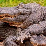 تمساح ومعلومات عن حياة وأنواع التماسيح صور ميكس 27