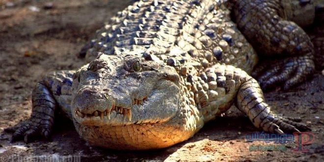 تمساح ومعلومات عن حياة وأنواع التماسيح صور ميكس 28
