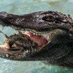 تمساح ومعلومات عن حياة وأنواع التماسيح صور ميكس 3