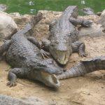 تمساح ومعلومات عن حياة وأنواع التماسيح صور ميكس 31
