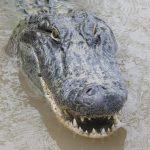 تمساح ومعلومات عن حياة وأنواع التماسيح صور ميكس 32