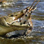 تمساح ومعلومات عن حياة وأنواع التماسيح صور ميكس 38