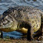 تمساح ومعلومات عن حياة وأنواع التماسيح صور ميكس 39