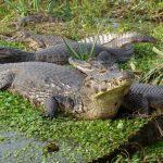 تمساح ومعلومات عن حياة وأنواع التماسيح صور ميكس 40