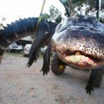 تمساح ومعلومات عن حياة وأنواع التماسيح صور ميكس 43