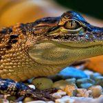 تمساح ومعلومات عن حياة وأنواع التماسيح صور ميكس 45