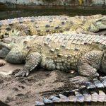 تمساح ومعلومات عن حياة وأنواع التماسيح صور ميكس 8