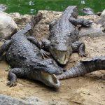 تمساح ومعلومات عن حياة وأنواع التماسيح صور ميكس 9