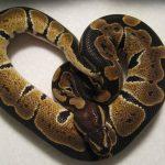 ثعبان 2019 تعرف على الثعابين وحياتها صور ميكس 43