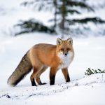 ثعلب ومعلومات عن حياة الثعالب حقيقية صور ميكس 10