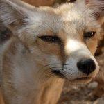 ثعلب ومعلومات عن حياة الثعالب حقيقية صور ميكس 14