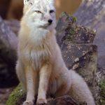 ثعلب ومعلومات عن حياة الثعالب حقيقية صور ميكس 18