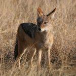ثعلب ومعلومات عن حياة الثعالب حقيقية صور ميكس 25