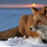 ثعلب ومعلومات عن حياة الثعالب حقيقية صور ميكس 28