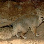 ثعلب ومعلومات عن حياة الثعالب حقيقية صور ميكس 30