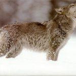 ثعلب ومعلومات عن حياة الثعالب حقيقية صور ميكس 34