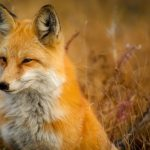 ثعلب ومعلومات عن حياة الثعالب حقيقية صور ميكس 39
