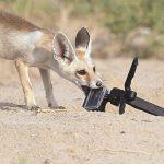 ثعلب ومعلومات عن حياة الثعالب حقيقية صور ميكس 44