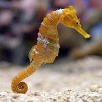حصان البحر حياة حصان البحر وأنواعة صور ميكس 3
