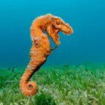 حصان البحر حياة حصان البحر وأنواعة صور ميكس 30