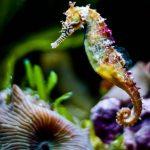 حصان البحر حياة حصان البحر وأنواعة صور ميكس 41
