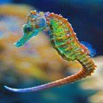 حصان البحر حياة حصان البحر وأنواعة صور ميكس 6
