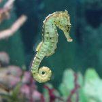 حصان البحر حياة حصان البحر وأنواعة صور ميكس 7