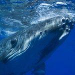 حوت ومعلومات كاملة عن حياة الحوت صور ميكس 13