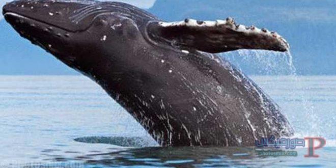 حوت ومعلومات كاملة عن حياة الحوت صور ميكس 24