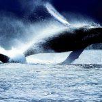 حوت ومعلومات كاملة عن حياة الحوت صور ميكس 31