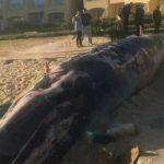 حوت ومعلومات كاملة عن حياة الحوت صور ميكس 32