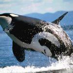 حوت ومعلومات كاملة عن حياة الحوت صور ميكس 42