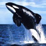 حوت ومعلومات كاملة عن حياة الحوت صور ميكس 5