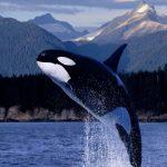 حوت ومعلومات كاملة عن حياة الحوت صور ميكس 7