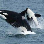 حوت ومعلومات كاملة عن حياة الحوت صور ميكس 8